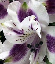 Alstroemeria-purple & White