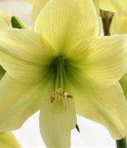 Amaryllis-green