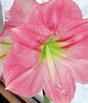 Amaryllis-pink