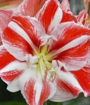 Amaryllis-red/white