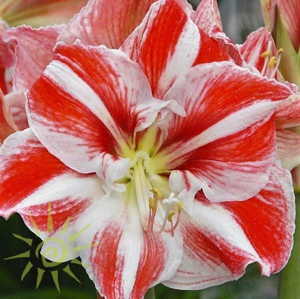 amaryllis-red-white Wholesale