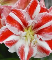 Amaryllis-red/white