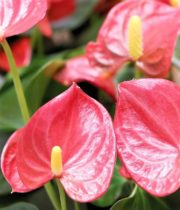 Anthurium, Mini-peach