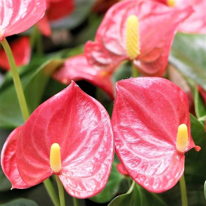 anthurium-peach wholesale flowers