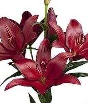 Lily L.A. Hybrid-burgundy