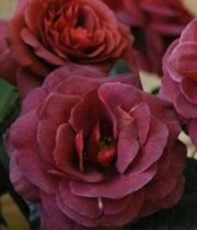 Rose, Spray CA-Rubicon-burgundy