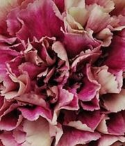 Carnations, Specialty-Antigua-mauve