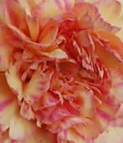 Carnations, Specialty-Gioia-peach