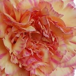 wholesale carnation-GIOIA-bicolor