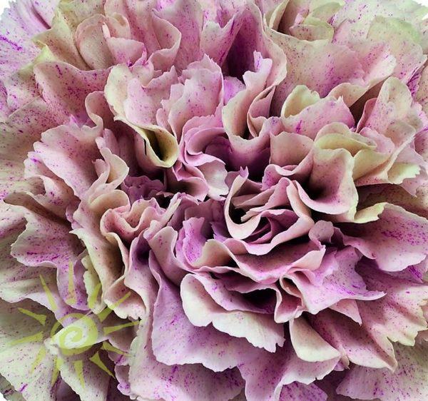 wholesale carnation-babylon