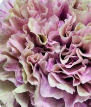Carnations, Specialty-Babylon-dusty Pink