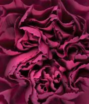 Carnations, Specialty-Carole-fuchsia