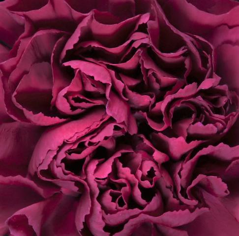 wholesale carnation-carole