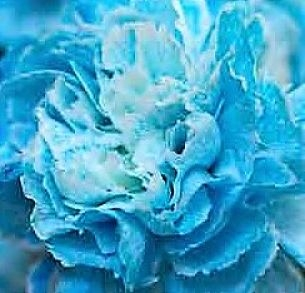 wholesale carnation blue tinted