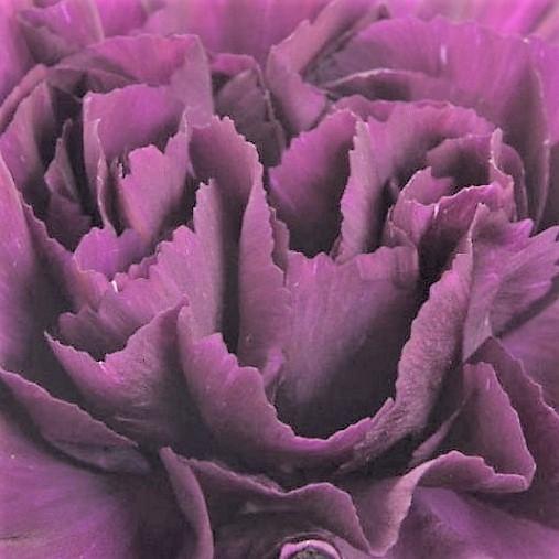 wholesale carnation-exstasis-purple
