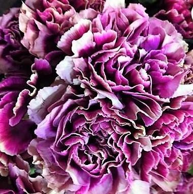wholesale carnation-hurricane-purple-bicolor