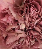 Carnations, Specialty-Lege-dusty Pink