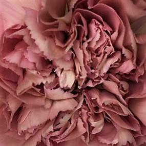 wholesale carnation-lege-dusty-pink