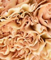 Carnations, Specialty-Lege Sport-beige