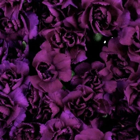 wholesale carnation -mini-moonique-purple