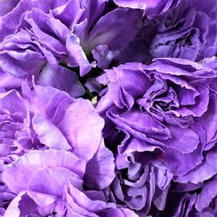 wholesale carnation moonpearl