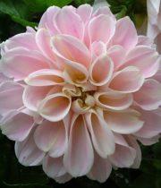 Dahlias, Field-blush