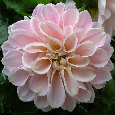wholesale dahlia-pink-blush