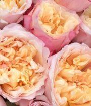 Rose Garden, Edith-SA