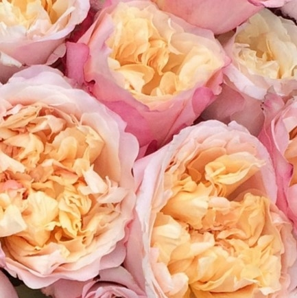 wholesale flowers | garden rose edith