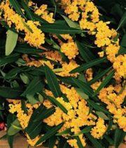Euphorbia, Fulgens-yellow