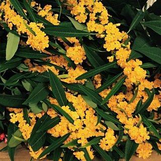 euphorbia-yellow
