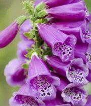 Foxglove-lavender
