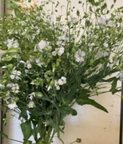 Saponaria-white