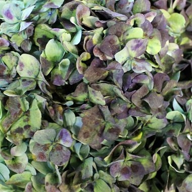 wholesale flowers | Hydrangea -hulk