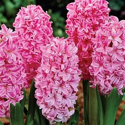 wholesale hyacinth-pink