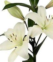 Lily Oriental, Laguna-white