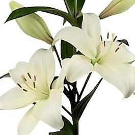wholesale flowers | oriental Lily-laguna