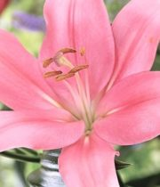Lily Asiatic-pink