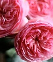 Mariatheresia Garden Rose, SA
