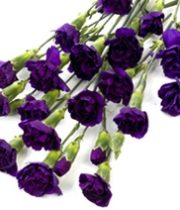 Carnations, Mini Moonberry-purple