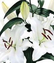 Lily Oriental, Opus One-white