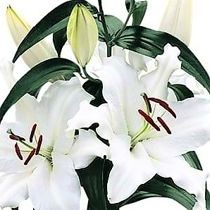 wholesale flowers | oriental Lily-opus one