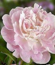 Peony-light Pink