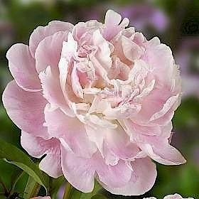 wholesale flowers | peony- catharina