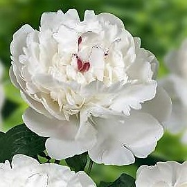 wholesale flowers | peony- festiva