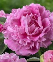 Peony-medium Pink