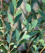Eucalyptus, Parvifolia