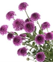 Mums, Spray-Button-purple