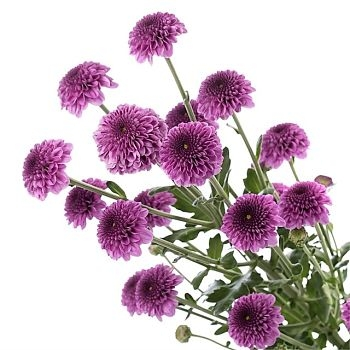purple spray mum