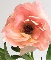 Ranunculus, Butterfly-light Pink
